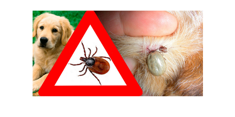 Babeszjoza u psów. Objawy, leczenie i zapobieganie.